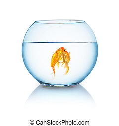 goldfishes in love in a fishbowl