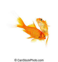 goldfishes in love on white