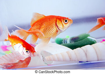 goldfishes moving in a box