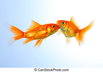 goldfishes on blue - A couple of goldfish friends on blue ...