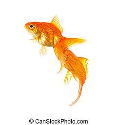 Goldfishes on isolated on white - A couple of goldfish ...