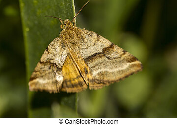 Goldwing (Synthymia fixa) nocturnal moth - Close up view of...