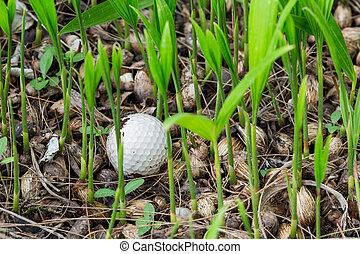Golf ball stuck in palm seedlings - Close up dirty golf ball...
