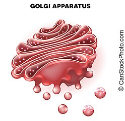 Golgi apparatus a part of the eukaryotic cell. Detailed ...