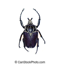 Goliath beetle isolated on white - Goliath beetle (Goliathus...