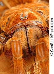 Goliath Birdeater Tarantula.