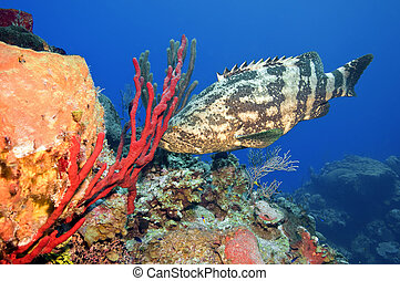 Goliath Grouper - A goliath grouper tries to hide behind a...