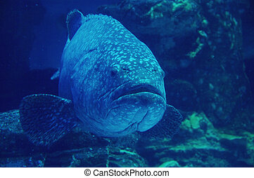 goliath,  Grouper