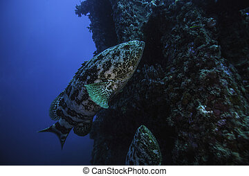 Goliath Groupers on Spiegel Grove - two goliath groupers on...