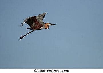 Goliath Heron (Ardea goliath) in flight over the Okavango Delta, Botswana.