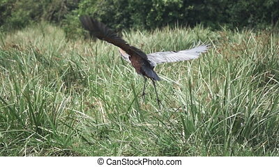 Goliath heron (Ardea goliath) starts flying in super slow-mo...