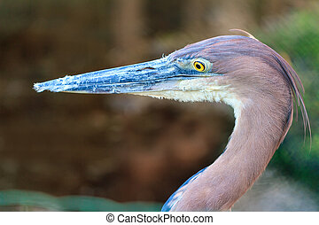 Goliath heron (Ardea goliath) - Beautiful portrait of the...