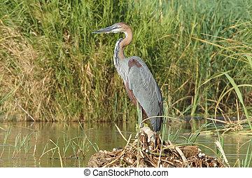 Heron, Lake Chamo, Ethiopia, Africa - Goliath Heron, Lake...
