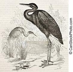 Goliath Heron old illustration (Ardea goliath). Created by...