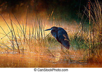 Goliath heron with sunrise over misty river - Goliath heron...
