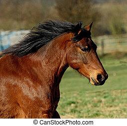 Goliath - running Horse