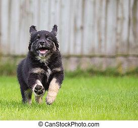 Gollie pup - golden retriever colli