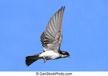 golondrina de árbol, vuelo