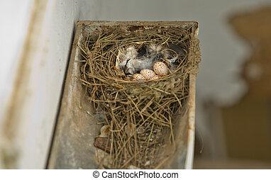 Golondrina, nido, granero