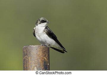 golondrina, perched, post.