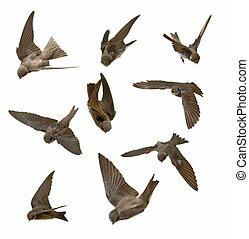 golondrinas, en vuelo, aislado, en, pizca