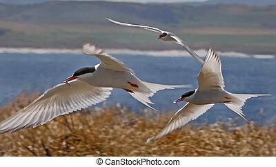 golondrinas mar, ártico, vuelo