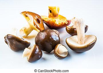 gombák, állhatatos, tinóru gomba