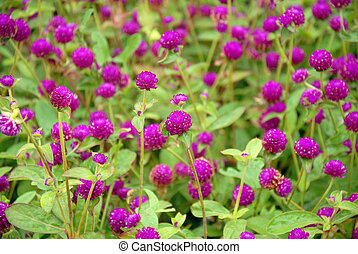 Gomphrena globosa. Background from pink flowers and greens