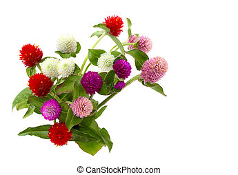 Gomphrena globosa flowers in different colors isolated over white
