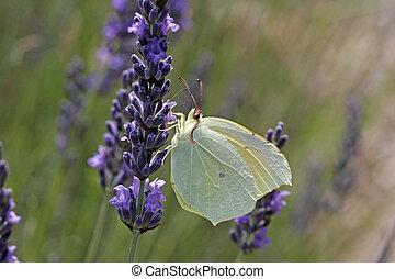 Gonepteryx cleopatra, Cleopatra butterfly