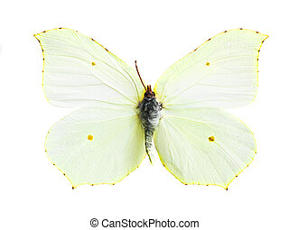 gonepteryx cleopatra - real colorful butterfly isolated in...