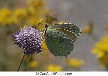 Gonepteryx cleopatra,Cleopatra butterfly