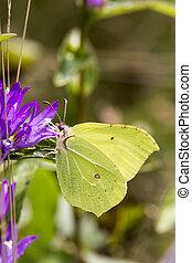 Gonepteryx rhamni, Brimstone - Gonepteryx rhamni, Common...