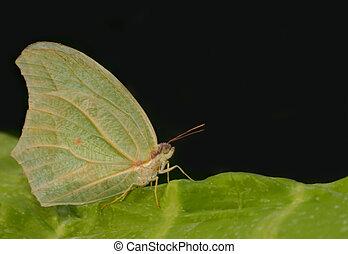 Gonepteryx rhamni butterfly from Maroc