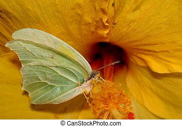 Gonepteryx rhamni Butterfly - Gonepteryx rhamni butterfly...