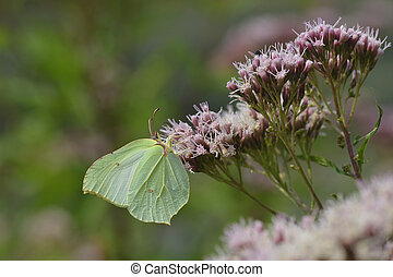 Gonepteryx rhamni , known as the common brimstone