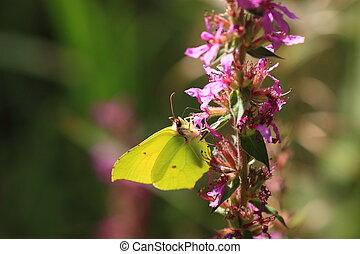 gonepteryx rhamni, Le citron