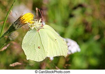 Gonepteryx Rhamni or Brimstone Butterfly - Close up of...