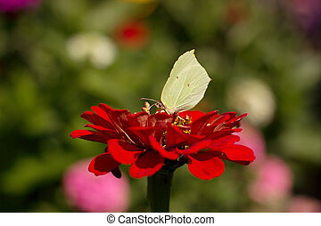 Gonepteryx rhamni resting on a flower