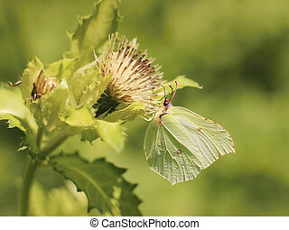 Gonepteryx rhamni - yellow butterfly on a flower