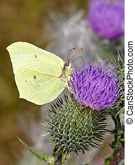 Gonepteryx rhamnii - Male bimstone butterfly on a flower