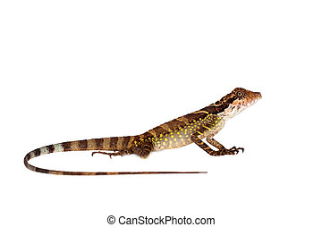Gonocephalus grandis on white - Gonocephalus grandis lizard...