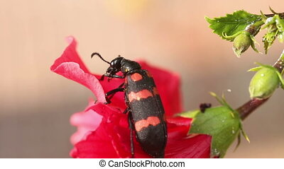 Good looking - Black and red stirped beetle washing itself...