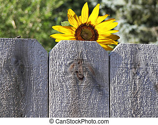 A sunflower and fly on rustic fence.