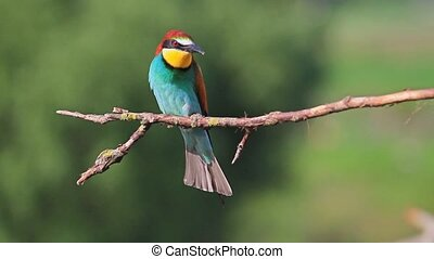 good song wonderful birds,excellent color bird on a branch