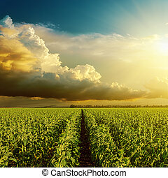 good sunset over field with green sunflower