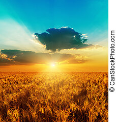 good sunset with dramatic sky over golden color field with harve