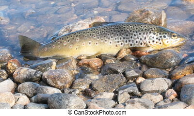 Caught by spinning brown trout (Salmo trutta fario) - Good...