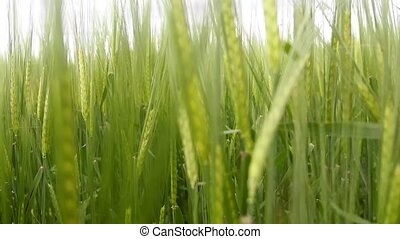Good year. Bread cereals are wall. Barley at the stage of...