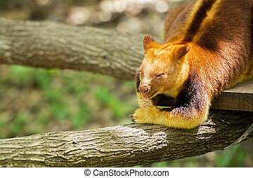 Goodfellow?s Tree-kangaroo out in nature during the day